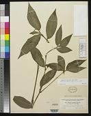 view Zebrina pendula var. villosa C.B. Clarke digital asset number 1