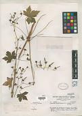 view Geranium hystricinum H.E. Moore digital asset number 1