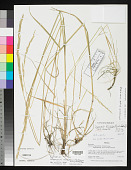 view Calamagrostis coahuilensis P.M. Peterson & et al. digital asset number 1