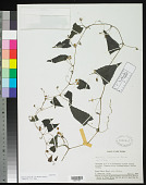 view Zehneria pisifera W.J.de Wilde & Duyfjes digital asset number 1
