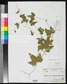 view Zehneria viridifolia W.J.de Wilde & Duyfjes digital asset number 1