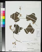 view Zehneria erythrobacca W.J.de Wilde & Duyfjes digital asset number 1