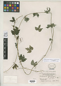 view Melothria gracilipes Merr. digital asset number 1