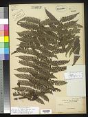 view Cyathea lepidigera Copel. digital asset number 1