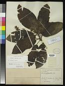 view Saurauia pseudorubiformis Buscal. digital asset number 1