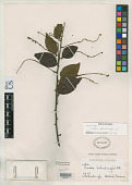 view Cordia schomburgkii A. DC. in DC. digital asset number 1