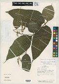 view Cordia anisophylla J.S. Mill. digital asset number 1