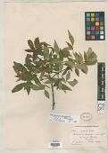 view Fraxinus purpusii Brandegee digital asset number 1