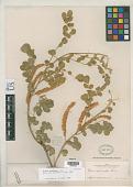 view Mimosa spirocarpa Rose digital asset number 1