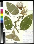 view Passiflora trialata Feuillet & J.M. MacDougall digital asset number 1