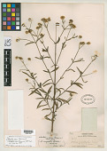 view Aspilia angustifolia A. Gray, nom. illeg. digital asset number 1