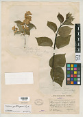 view Philadelphus gattingeri S.Y. Hu digital asset number 1