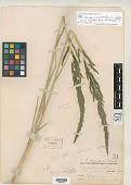 view Sporobolus cryptandrus var. robustus Vasey digital asset number 1