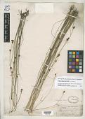 view Rhynchospora distans var. microcarpa Boeckeler digital asset number 1