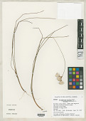 view Eriophorum tenellum f. gorhamii Raymond digital asset number 1