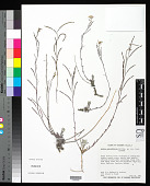 view Arabis pallidifolia Rollins digital asset number 1