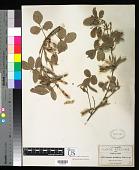 view Galactia multiflora B.L. Rob. digital asset number 1