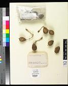 view Astrocaryum standleyanum var. calimense Dugand digital asset number 1