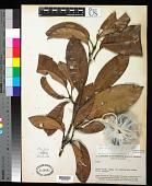 view Quiina rigidifolia Pires digital asset number 1