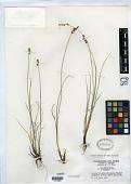 view Carex interior var. charlestonensis Clokey digital asset number 1