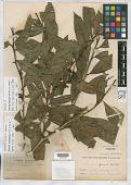 view Solanum pearcei Britton digital asset number 1