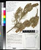 view Pinus cembroides var. bicolor Little digital asset number 1