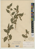 view Viola boliviana Britton digital asset number 1