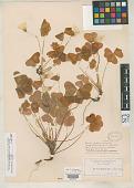 view Oxalis macra Schltr. digital asset number 1