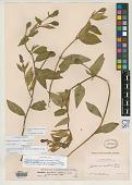 view Hartmannia montana Rose digital asset number 1