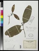 view Calophyllum lanceolatum Warb. digital asset number 1