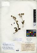 view Swertia rotundiglandula He & S. W. liu digital asset number 1
