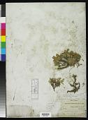 view Convolvulus nitidus Boiss. digital asset number 1