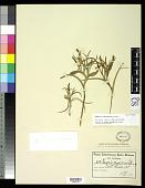 view Homeria ramosissima Schltr. digital asset number 1