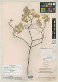 view Nototrichium fulvum Schinz digital asset number 1
