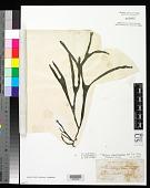 view Cladophora decorticatum digital asset number 1