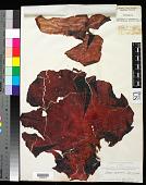 view Iridaea mertensiana Postels & Rupr. digital asset number 1