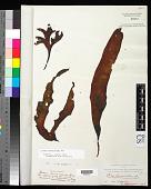 view Iridaea laminarioides digital asset number 1