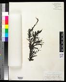 view Sargassum cymosum digital asset number 1