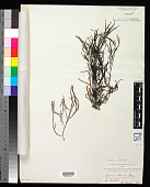 view Vidalia colensoi (Hook. f. & Harv.) J. Agardh digital asset number 1
