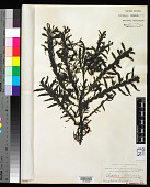 view Carpophyllum maschalocarpum (Turner) Grev. digital asset number 1