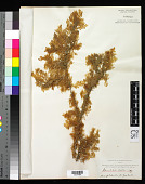 view Pterocladia lucida (R. Br. ex Turner) J. Agardh digital asset number 1