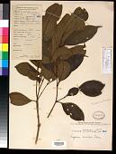 view Syzygium simile (Merr.) Merr. digital asset number 1