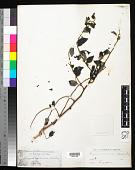 view Breynia racemosa (Blume) Müll. Arg. digital asset number 1