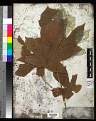 view Pterospermum diversifolium Blume digital asset number 1