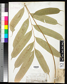 view Coniogramme macrophylla (Blume) Hieron. digital asset number 1