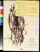 view Ammannia baccifera L. digital asset number 1