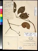 view Schefflera elliptica (Blume) Harms digital asset number 1