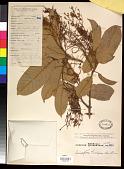 view Anisoptera thurifera (Blanco) Blume digital asset number 1