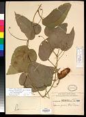 view Adenia heterophylla (Blume) Koord. digital asset number 1
