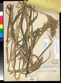 view Echinochloa oryzoides (Ard.) Fritsch digital asset number 1